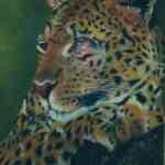 Leopard - chalk pastels - Kelly Goss Art