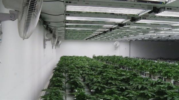 marijuana-plant_357565520621