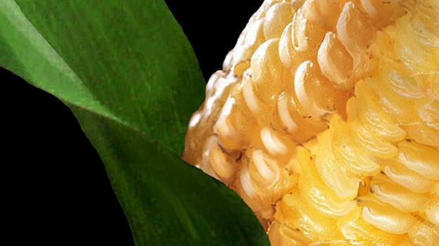corn-farming-farms-gmo-crops-markets_926675520621