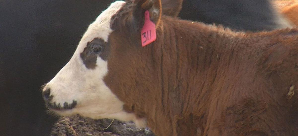 KELO Markets Cow