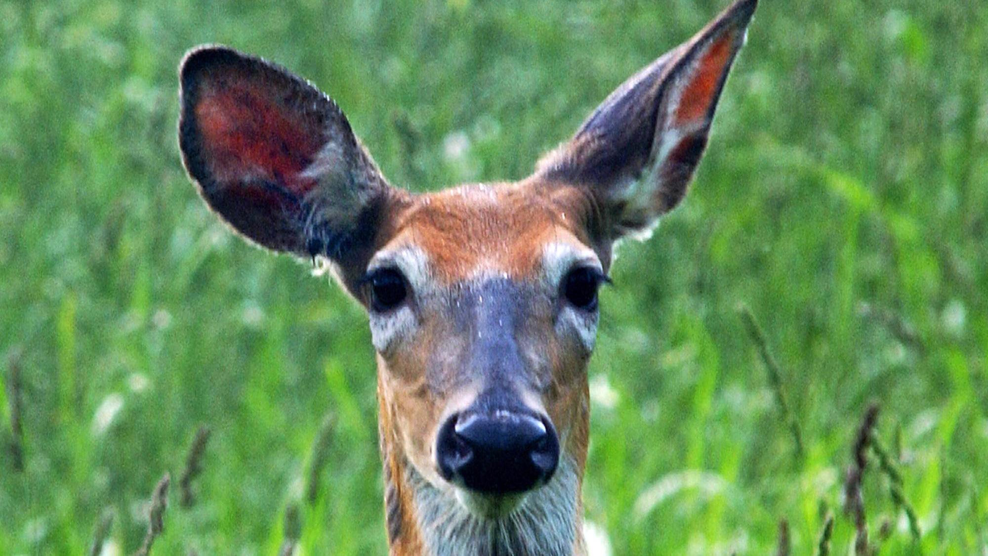 KELO Deer.jpg