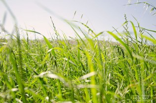 grass-field-kmcnickle-tallgrass