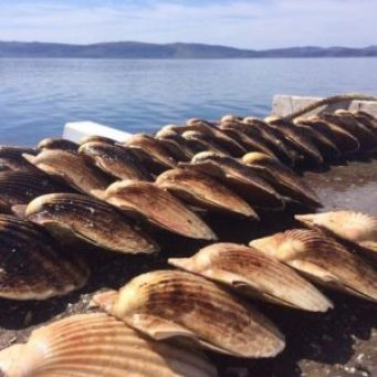 Scallops lined up along the seabed