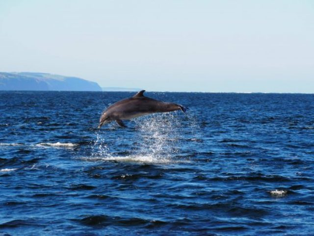 Bottle nose dolphin jumping out of sea