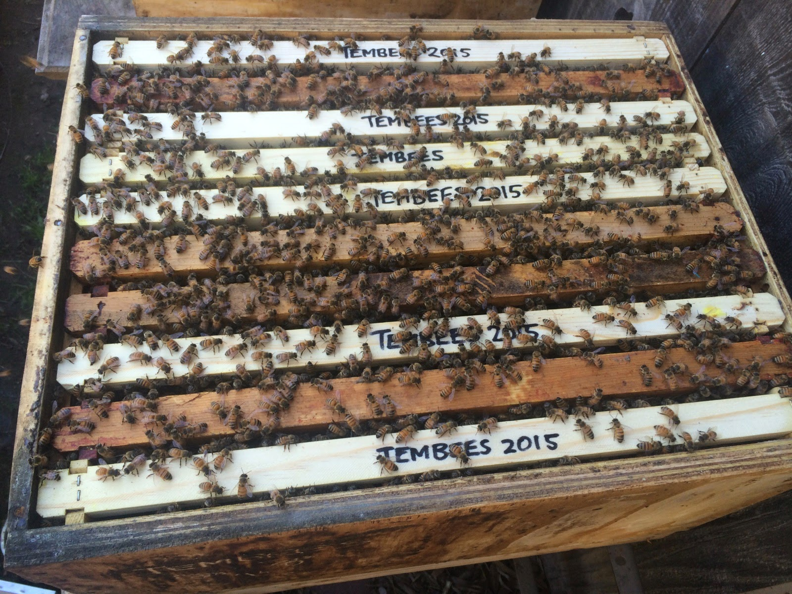 Transitioning to Foundationless frames, as the bees intended ...