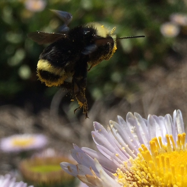 Appreciating the Western Bumblebee