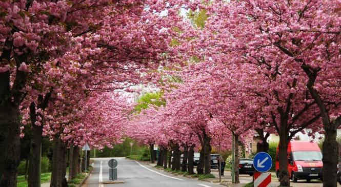 Sakura Dekat Rumah