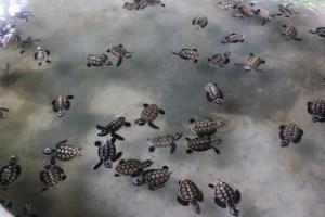Penyu Belitung