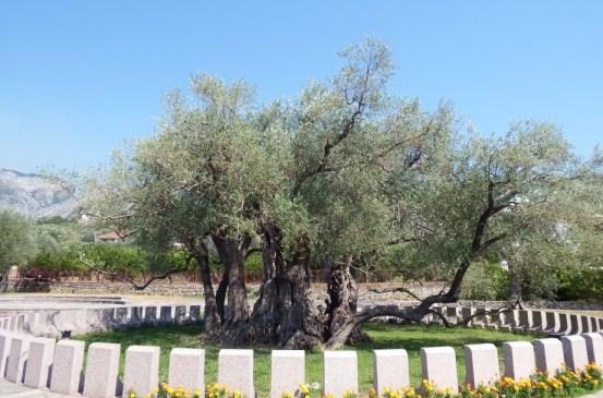 Stara Maslina, Pohon Zaitun Ribuan Tahun di Montenegro