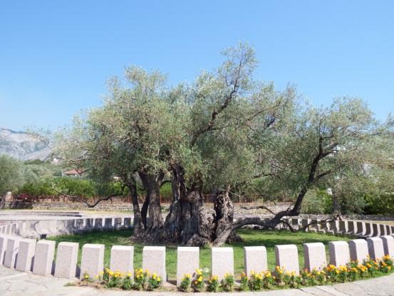 Old olive tree Montenegro