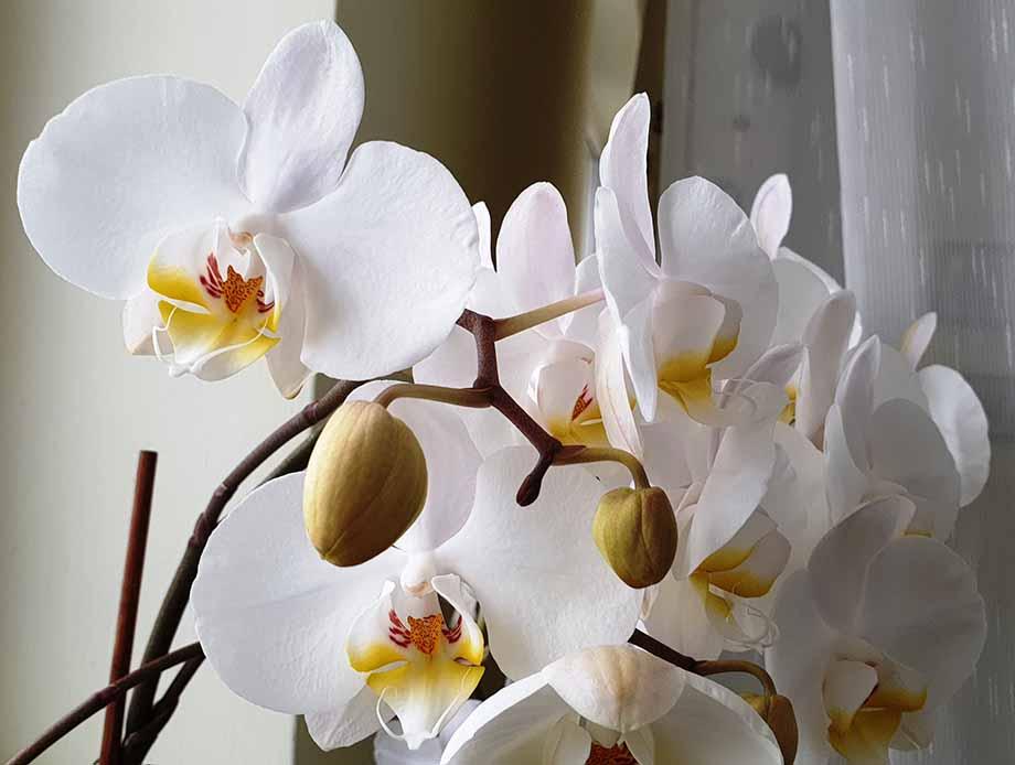 fiori san Valentino orchidea
