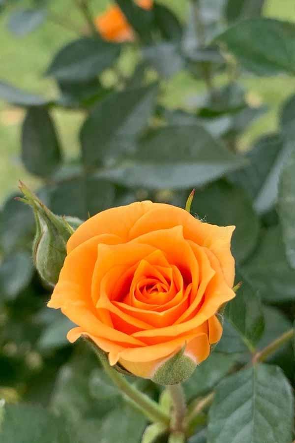 fiori-festa-della-mamma rosa arancione