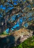 Oak Tree in Tarpon Springs