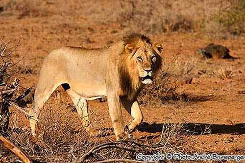 Löwe - Vorsicht vor Kenia safari betrug