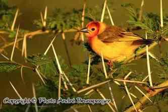 Webervogel - kenia mein personliches konzept reise urlaub safaris afrika fuhrer