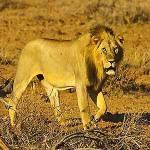 Löwe - Kenia safari Kenia reisefuehrer für mit reisetipp für familien reisen.