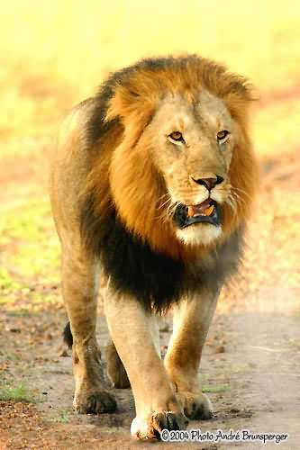 Löwe - Kenia Komfort safari und Flitterwochen 13 tage ab Nairobi