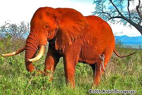 Rote Elefanten - Kenia Komfort safari und Flitterwochen 13 tage ab Nairobi
