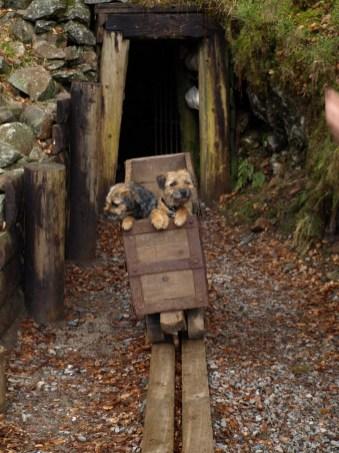 Border Terrier i minevogn, hundelivet hos Kennel Hjelme