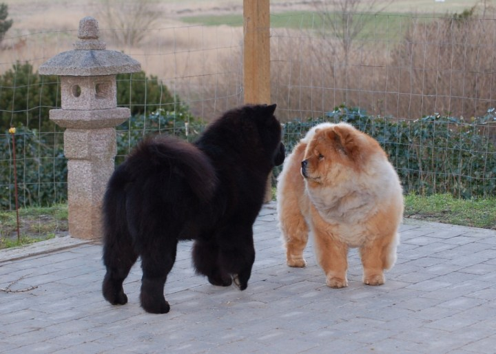 Kennel Hjelme Chow Chow