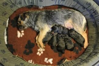 Kennel Hjelme Border Terrier hvalpe