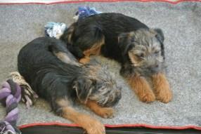 Kennel Hjelmes Border Terrier Hjelme Once Upon A Time og søster
