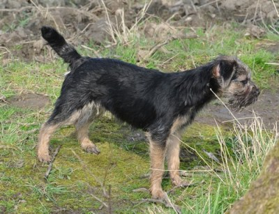Kennel Hjelmes Border Terrier Hjelme Once Upon A Time