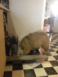 Kennel Hjelme Chow Chow hvalp tager opvasken