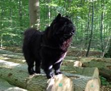 Piuk Chow Possesses Black Passion i skoven