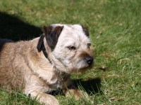 Kennel Hjelme Jason, veteran border terrier