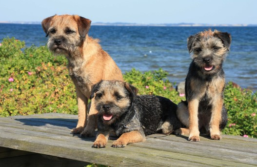 Kennel Hjelmes Border Terrier Lewis Zoe Gizmo