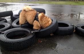 Chow Chow aktiveres i bildæk, hundelivet hos Kennel Hjelme