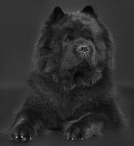Chow Chow Mandela, Piuk Chow Possesses Black Passion