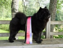 Kennel Hjelmes Chow Chow ny finsk champion. Piuk Chow Possesses Black Passion