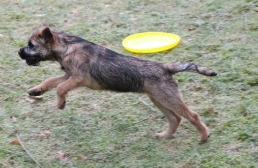 Border Terrier Kennel Hjelme Mountain Dew Night Nurse Lene Hjelme