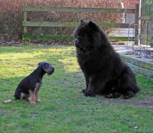 Chow Chow Border Terrier Hjelme haven