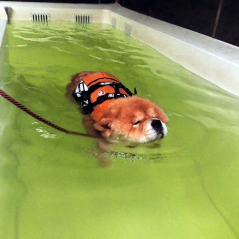 Chow Chow Hjelme Piuk Chow Sweet Magic Of Phantasy Hundesvømning