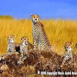Famille de Guépards sur une termitière kenya safari voyage