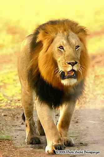 Lion - Réserve de Masaï Mara au Kenya