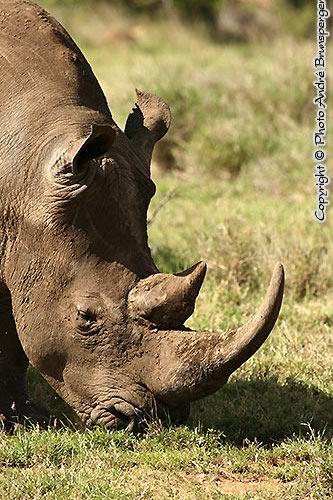Rhinocéros de Lewa Downs