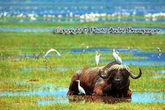 Buffle parc du lac Nakuru