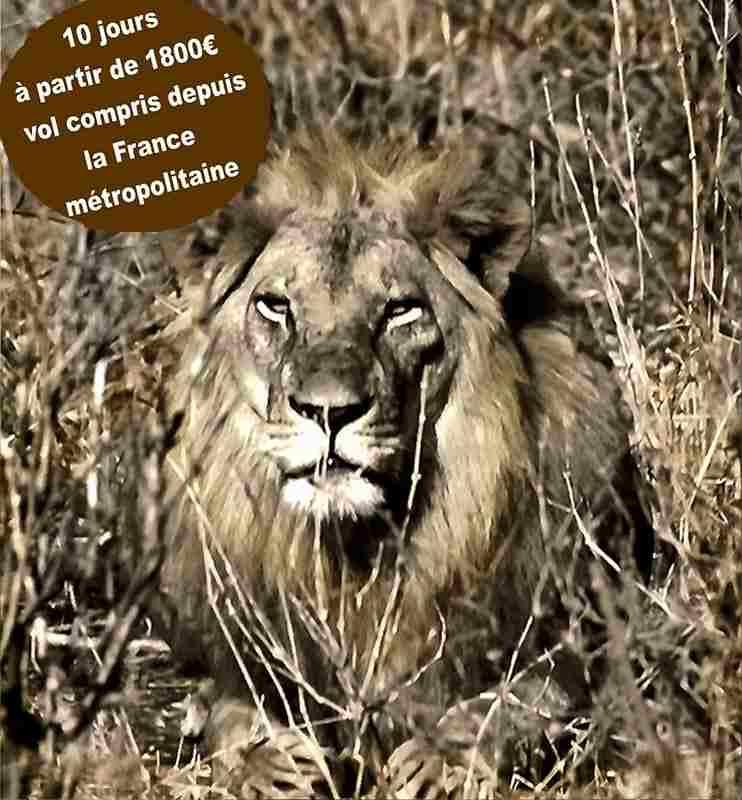 Un lion - c'est comment un vrai safari au Kenya