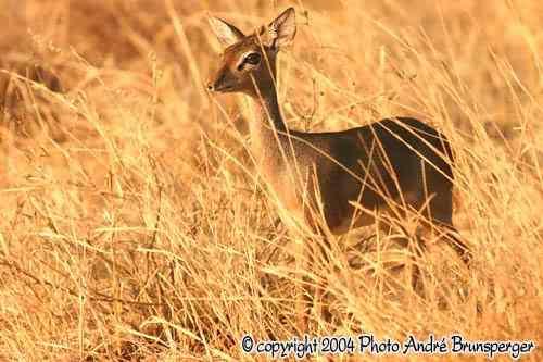 Dig Dig parc national Meru Kenya