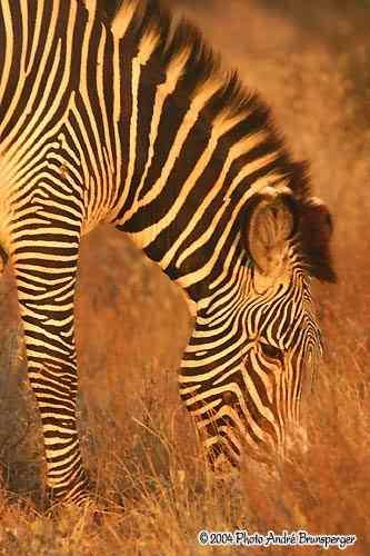 Zèbre parc national Meru Kenya