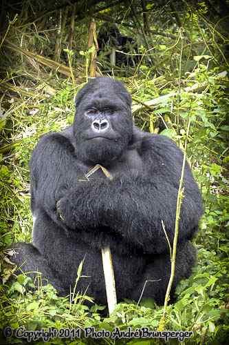 Gorille - safari Kenya extension gorilles Ouganda