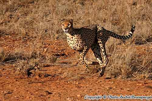 Guépard - Réserve Samburu Buffalo Springs Kenya