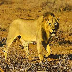 Lion - Watch out for swindlers Kenya travel watch out for swindlers!