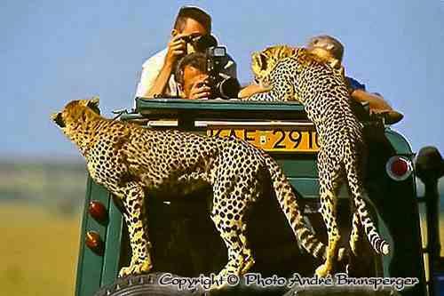 cheetahs - Safari hakuna matata 10 days from Nairobi.
