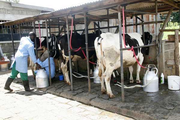 A milk farmer milking cows at a farm.