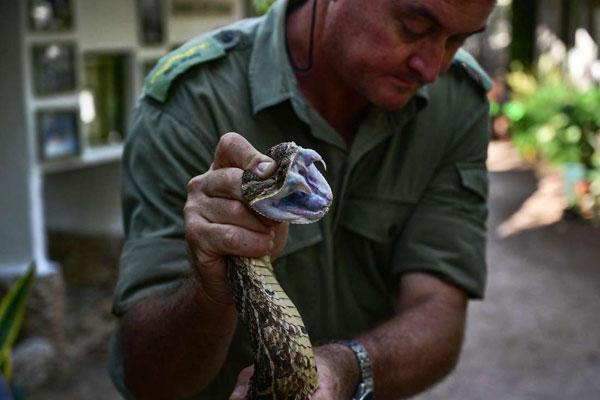 A herpetologist at the Bio-Ken Snake Farm, Royjan Taylor, holds a freshly caught puff-adder prior to milk its venom on February 13, 2019